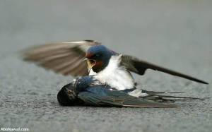 swallow 04