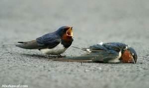 swallow 05