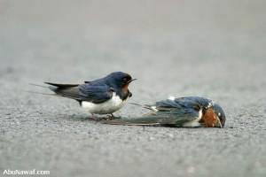 swallow 06